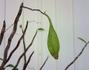 深芳野(♂) × キバナノセッコク(♀) 実生