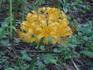 リコリス オーレアの種からの栽培