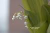 南国で鉢植えスズラン栽培