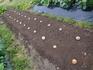 ジャガイモのごろごろ植え 2018