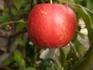 りんご『アルプスの乙女』は、鉢栽培に最適