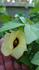 茶綿を種から育てる(コットンプロジェクト)