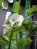 春のグリーンカーテン エンドウ豆と…