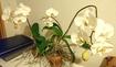 胡蝶蘭、葉っぱ1枚からの復活