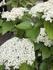 ハクサンボク(ガマズミ)の開花