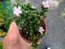 ハクチョウゲなどで、ミニ盆栽を作ろう!