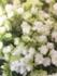 八重咲きのアナベル ヘイズスターバースト