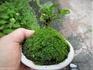 小盆栽『クチナシ』 目標は播種栽培