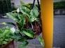 『ヒトツバ』は古典植物。