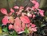 紅葉盆栽は、『ニシキギ』が素晴らしい。