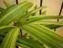 『観音竹と棕櫚竹』の栽培