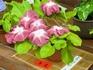 団十郎で京風数咲き作りに挑戦