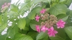 アジサイで梅雨の不快指数20%ダウン