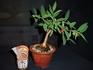 ヤンバルガンピは播種後、3年で小盆栽だ。