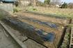 逆さ 浅植え 黒マルチ ジャガイモ挑戦