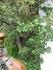 『ヒイラギ』盆栽づくり