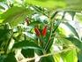 ピリピリ ― ブラジル発ポルトガル経由アフリカ着のトウガラシ