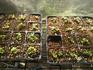 ミニ白菜栽培