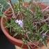 半匍匐性ローズマリー ディープブルー