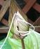 タッカ インテグリフォリア 😸白猫ちゃん