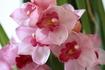 花を咲かせようシンビジューム