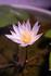 熱帯睡蓮の完全室内栽培チャレンジ