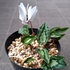 ヘデリフォリウムを種から育てる