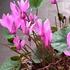 プルプラセンス(シクラメン)を種から育てる