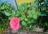 タテニワ・垂直栽培 収納ボックスで薔薇 HTピンクパンサー栽培
