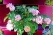 タテニワ・垂直栽培 収納ボックスで薔薇 FLセレッソ栽培