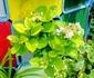 タテニワ・垂直栽培 収納ボックスで紫陽花・金平糖栽培 Ⓡ
