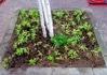 白樺周りにコバランタナの試験植込み