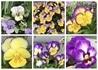 採取したビオラの種で花満開を目指す