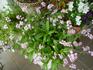 来年の春には花壇に一杯咲いてね