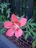 モミジアオイ、今年は花を咲かせよう!