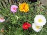 八重咲きマツバボタン
