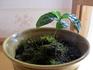 チャノキの室内栽培
