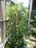 月桂樹の移植と病気