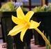 咲かぬなら咲かせてみせようクリダンサス