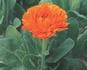 カレンデュラを種から育てる