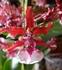 この群雀蘭は、いい香り(2013版)