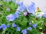 蕾はピンク花はブルーのエキウム ブルガレの種蒔き