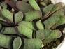 ガステリア バイリシナア