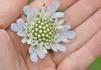 スカビオサのお花可愛いですね