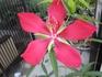 モミジアオイのお花を咲かせる。