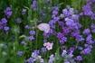 夏にさわやかなお花。宿根バーベナ