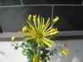 古典菊(肥後菊、伊勢菊)を綺麗に咲かせよう