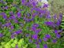 庭に紫のカーペットを!