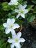 クレマチス雪小町の鉢植え