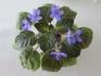セントポーリア種から花まで